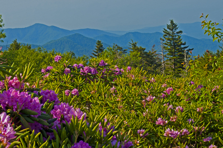 roan: Blooming rhododendron and blue mountains on Roan Mt.