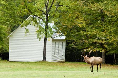 smokies: Bull Elk mirando una peque�a iglesia blanca en el Smokies.