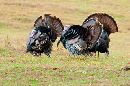 gamebird: Strutting turkeys in Cades Cove.