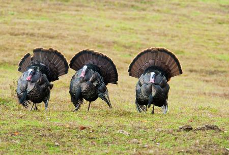 Three wild turkeys strutting an open field.