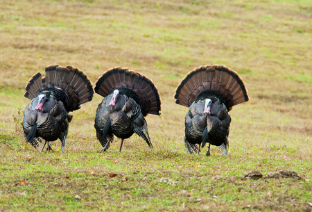 gamebird: Three wild turkeys strutting an open field.