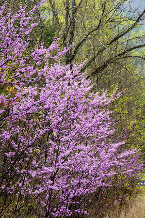Beautiful Redbud trees in bloom. photo