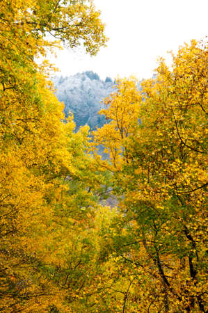 snow capped mountain: Yellow leaves frame a snow capped mountain.
