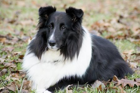 obediencia: Close up de perro pastor de Shetland tumbado en la obediencia.
