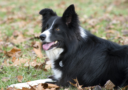 sheltie: Close up of Sheltie Sheepdog,