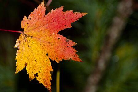 Close-up der Farben des Herbstes und Blätter.