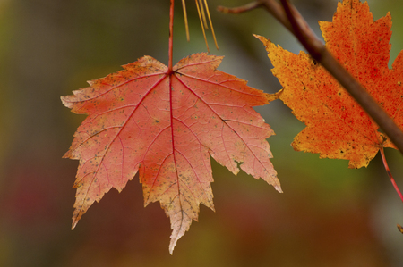 great smokies: Red maple leaves hang from a tree.