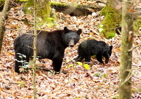 oso negro: Oso negro madre y cachorro en la naturaleza.