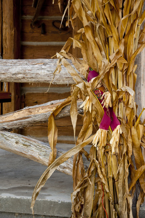 decorates: Scarecrow decorates corn stalks in the fall.