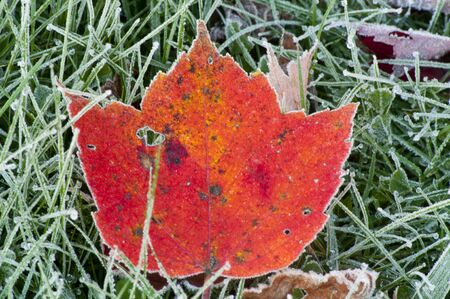 Red Maple Leaf laying in frosted grass.