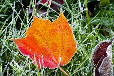 smokies: Orange leaf laying on frosted grass.