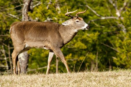 white tailed: White Tailed buck in rut with horns slanted for battle. Stock Photo
