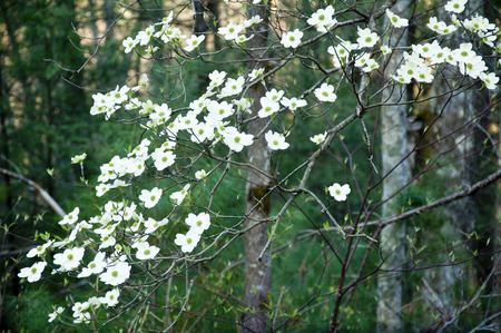 great smokies: Dogwood blooms and greenery in woodland.