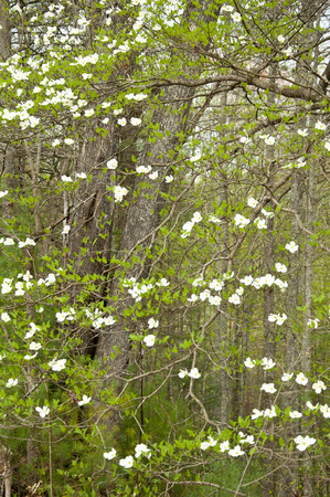 great smokies: Dogwood blooms and greenery in the Smokies. Stock Photo