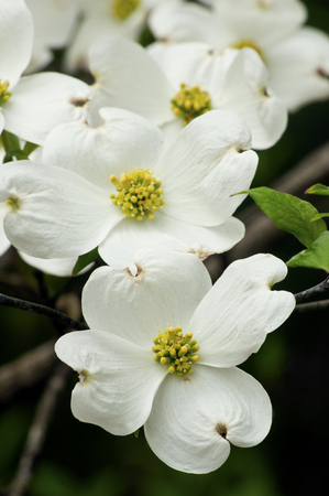 blooms: Close up of Dogwood blooms.
