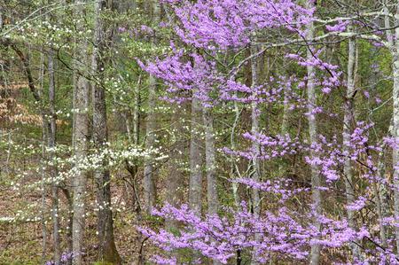 smokies: Redbuds y Dogwoods que florecen en las Monta�as Humeantes.