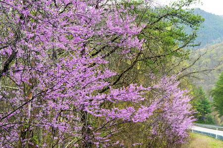 redbud: Beautiful Redbud trees in bloom. Stock Photo
