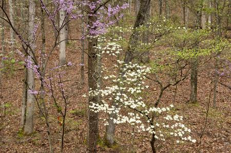 smokies: Dogwoods que florecen en las Monta�as Humeantes en la primavera.