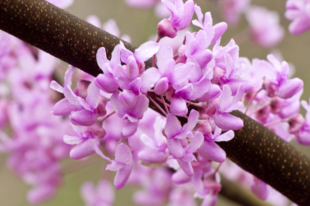 redbud: Close-up Redbud blooms in spring.