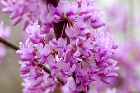 redbud tree: Close-up of a Redbud Tree in bloom. Stock Photo