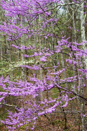 smokies: Vertical-Redbuds que florecen en las Monta�as Humeantes. Foto de archivo
