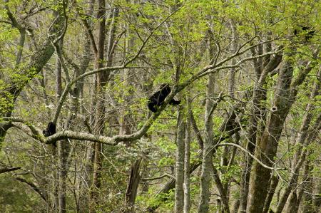 bear berry: Three Black Bears in a tree in the Smokies. Stock Photo