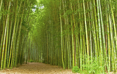 end of the trail: Path through a patch of bamboo.