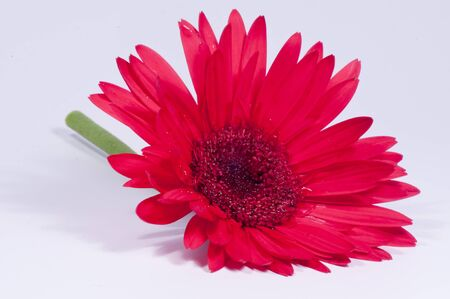 Red Gerbera Daisy against a white background.