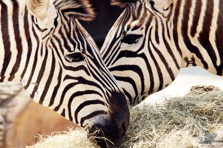 Close up two zebra noses together eating.