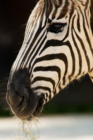 Close-up Zebra nose and face. Stock Photo