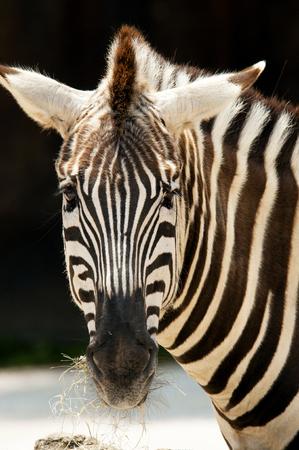Close-up Zebra looking at the camera.