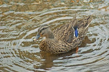 webbed feet: Female Mallard Duck swimming in clear water.