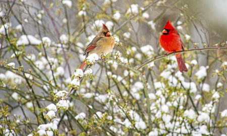 snow cardinal: Male and female Cardinals in a snowy bush. Stock Photo