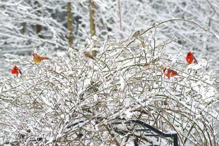 Three red Cardinals on a snowy branch. photo