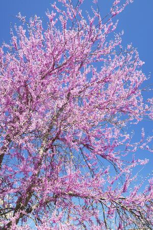 Pink dogwood blooms against a clear blue sky. photo