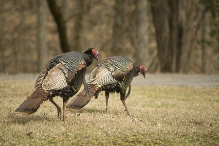 Two wild turkeys hang their heads looking for food. Stock Photo