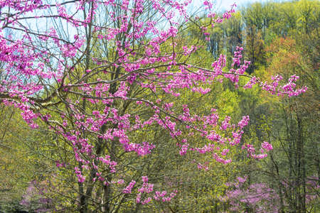 redbud: Redbud Trees in bloom along the forest.