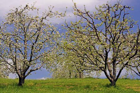 Apple trees bloom against a blue sky. Stok Fotoğraf