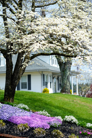 creeping: Little white house, dogwoods, and creeping flaux. Archivio Fotografico