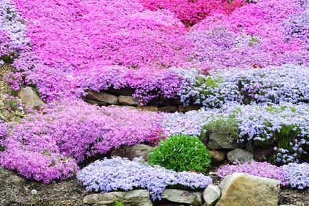 Beautiful Creeping Phlox in bloom.