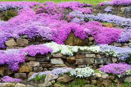Landscaping with colorful Creeping Phlox.