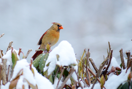 redbird: Female Redbird sits on a snowy branch. Stock Photo