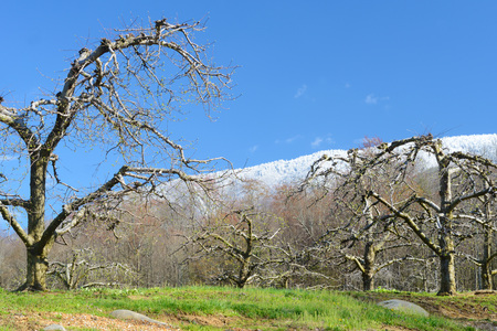 snow capped mountains: Apple trees, blue sky, and snow capped mountains.