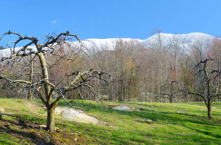 snow capped: Apple trees and snow capped mountains.