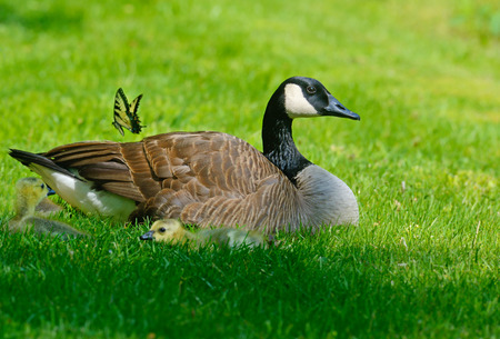 Mother Canada Goose babies and butterfly.