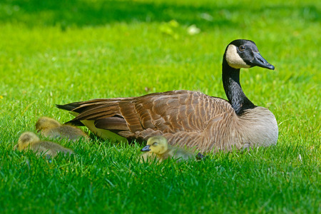 Canada Goose mother with goslings.