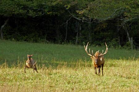 great smokies: Bull elk chases female in the rutting season.