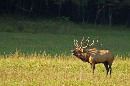 bugle: Bull elk sounds a bugle in late evening sunshine.