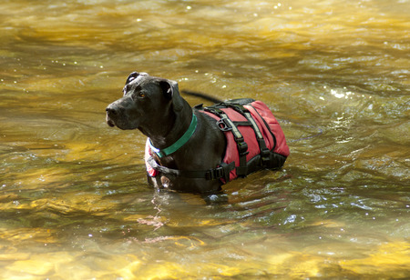 Dog in a river with his backpack on waiting.