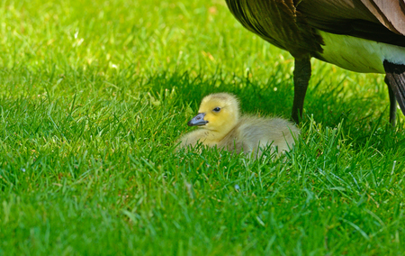 canada goose: Baby Canada Goose at moms feet. Stock Photo
